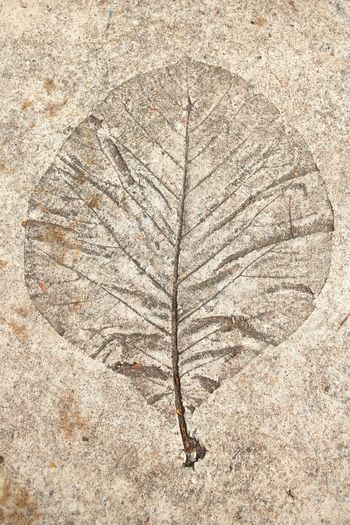 Leaf print on cement floor : Cement Floor Wall - Building Feature Nature No People Pattern Textured  Close-up Outdoors Backgrounds Day Art Ancient Plant Fossil History Tree Extinct Plant Part Leaf Dry Directly Above The Past Paleontology