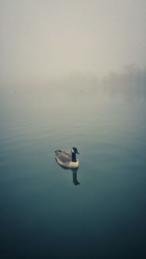 Goose swimming in lake during foggy weather