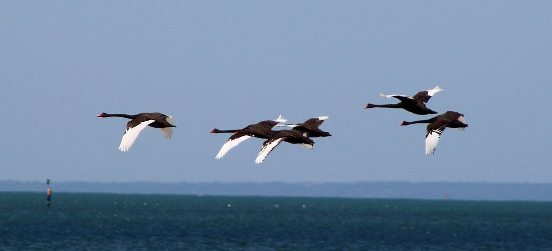 Black Swans Flying Over Sea Against Sky