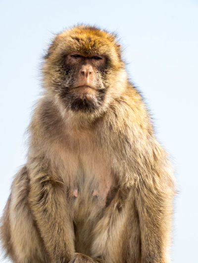 Animal Themes Animal Wildlife Animals In The Wild Baboon Close-up Mammal Monkey No People One Animal Outdoors Studio Shot White Background