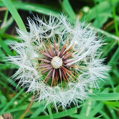 Dandelion burst Flower Nature Dandelion Fragility Growth Flower Head Plant Uncultivated Freshness Close-up No People Outdoors Day Beauty In Nature Love Where You Live Plant Beauty In Nature