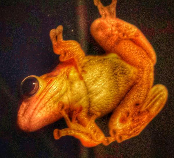 Frog Frog On The Window Frog At Night Animal Themes Backyard Critters Big Eye Golden Glow