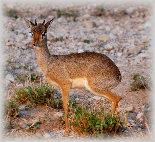 Africa African Safari Alertness Animal Animal Themes Animals In The Wild Cute Deer Dik Dik Field Kenya Mammal National Park Nature One Animal Safari Standing Wild Wildlife Wildlife & Nature Wildlife Photography Zoology