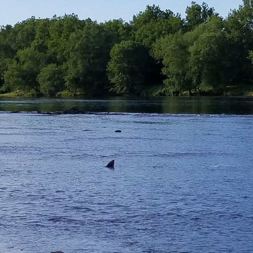 Sharks in the Delaware! Tree UnderSea Water Swimming Bird Whale Humpback Whale Sea Life Aquatic Mammal Hippopotamus Shark Animal Fin Underwater Calm