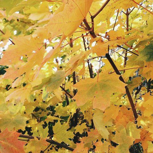 Vscocam VSCO Vscoautumn Vscoleaves vscolove beautiful vscocool vscophile vscohile vscomoscow vscodaily autumn leaves yellow vsvoyellow lovingit followme
