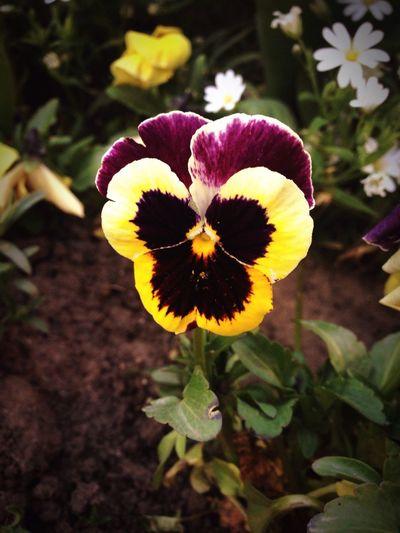 Flowers Purple Flower Yellow