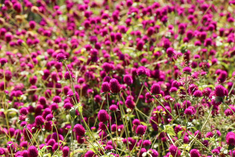 Purple flower heads Flowering Plant Flower Plant Beauty In Nature Growth Freshness Vulnerability  Fragility Backgrounds Pink Color Land Nature Field Full Frame Close-up No People Abundance Day Flower Head Springtime Flowerbed Outdoors Purple Gardening