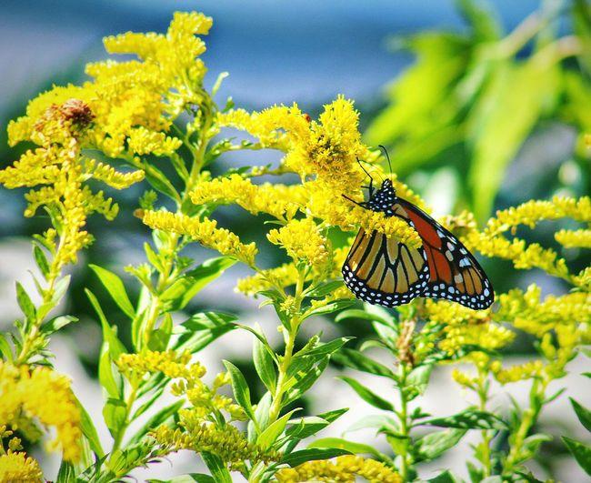 Monarch Butterfly MotherNaturesGift Beautiful Nature EyeEm Nature Lover Butterfly ❤ Nature_perfection EyeEm Best Shots - Nature Flowers, Nature And Beauty Flowerlovers Flower Collection