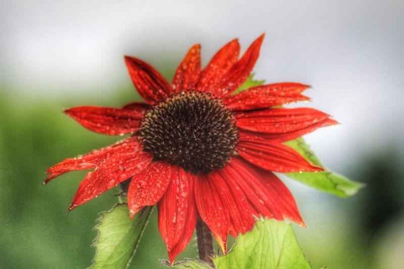A rainy dag Sunflower Redsunflower Garden Gardening Flower Outdoors Nature Summer Colors