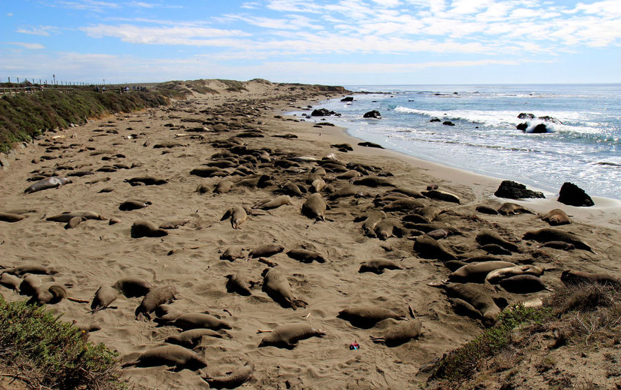 San Simeon Beach Beauty In Nature Cloud - Sky Day Elephant Seals Horizon Over Water Mammal Nature No People Outdoors Rock - Object Sand Scenics Sea Shore Sky Tranquil Scene Tranquility Water Wave