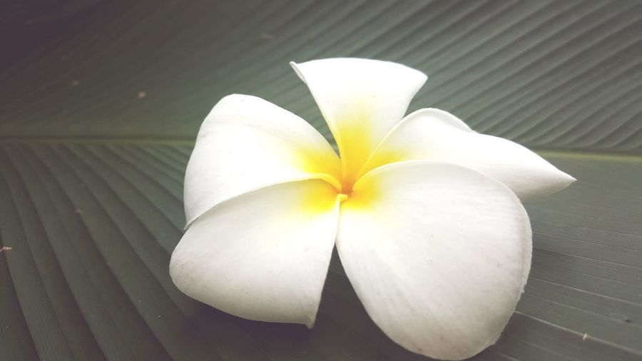 Natural Beauty Flower Head Flower White Color Close-up Frangipani Tropical Flower Blooming Petal In Bloom Plant Life Single Flower