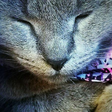 Close-up My Fur BabyGreycat Miss Dorianna Diva On The Divan Resting Cat Pattern Cats Of EyeEm Softness Pets Domestic Animals Cat No People Whisker Closeup Sweet Dreams Pet Portraits