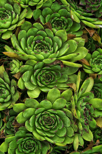 Abundance Outdoors High Angle View Wellbeing Large Group Of Objects Nature Close-up Healthy Eating Food Day Succulent Plant Beauty In Nature No People Food And Drink Plant Freshness Growth Backgrounds Full Frame Green Color Hauswurz Background Background Texture Hintergrund