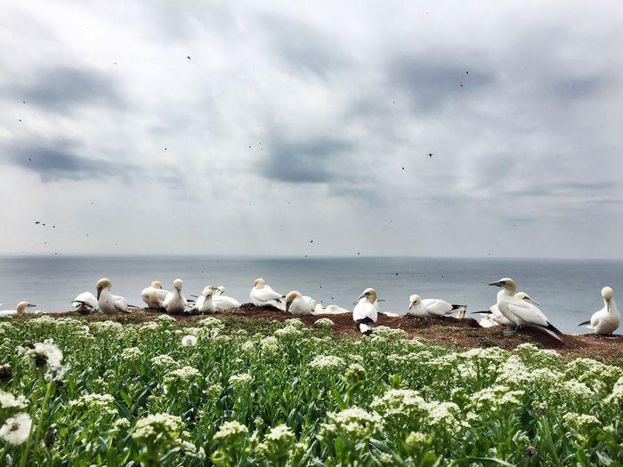 Gannet birds perching on field by sea against cloudy sky