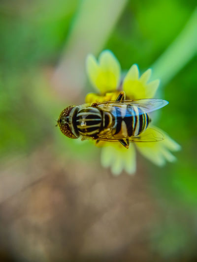 bee Insect Bee