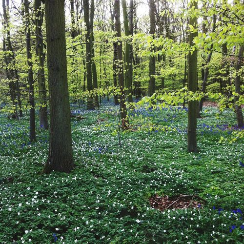 Bluebells & Wood Anenomes Green Color Tree Nature Growth Grass Day Outdoors No People Beauty In Nature Woods Forest Bluebells Wood Anemone Wood Flower Forrest Nature Forest Flowers Forest Floor Growth Trees