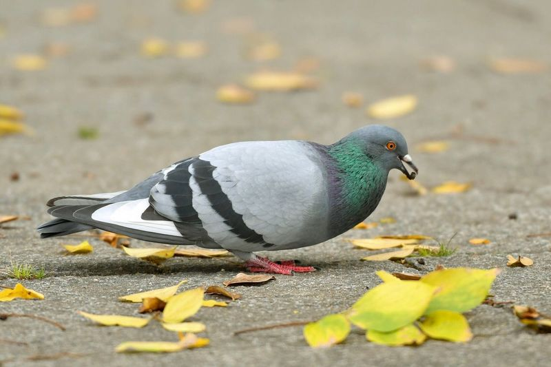 Close-Up Of Pigeon Perching On Street