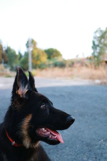 Beautiful Honey Eyes  Green Bokeh Check This Out Dog Dog Love Dog Life Nabatieh My Dog <3 My Dog Blackfur Tongue Out Daylight German Shepherd