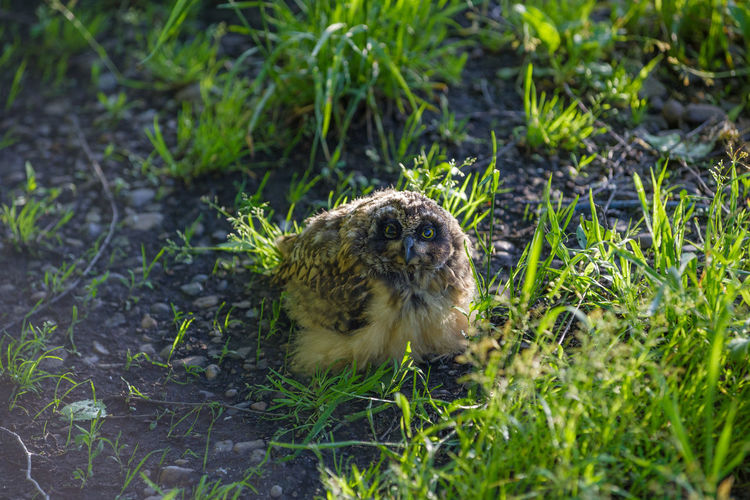 Young fluffy owl Animal Animal Themes One Animal Animal Wildlife Animals In The Wild Nature Grass Land Vertebrate No People Day Green Color Outdoors Growth Selective Focus Bird Young Animal Owl Bird Of Prey Nestling Siberia Siberia, Russia Owl Photography Fluffy Young