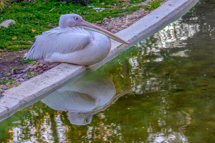 Water Bird Lake Animal Vertebrate Animal Themes Reflection Animals In The Wild Animal Wildlife One Animal No People Day Nature Waterfront White Color Water Bird Plant Tree Outdoors