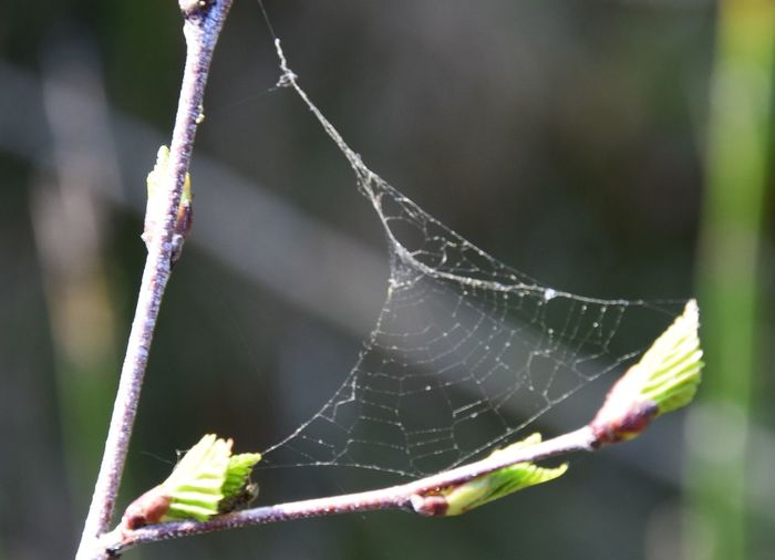 Fragility Close-up Plant Focus On Foreground Vulnerability  Spider Web Nature Beauty In Nature Day No People Growth Plant Part Outdoors Leaf Animal Themes Selective Focus Animal Invertebrate Plant Stem Water Naturelovers Spring Birch Detail