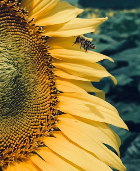 Bee Pollinating On Sunflower