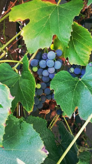 would anyone like some concord grapes?