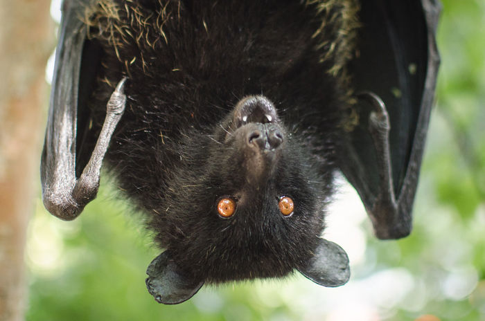Upside down Livingstone's fruit bat. Bat Chiroptera Comoro Flying Fox Livingstone Fruit Bat Mammal Megabat One Animal Orange Eyes Pteropus Livingstonii Scary Upside Down Vampire