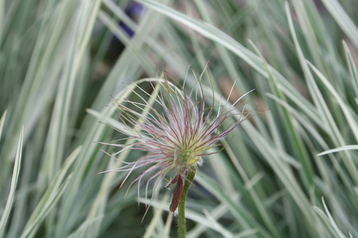 Close-up Day Flower Flower Head Nature No People Outdoors Pasque Flower Plant