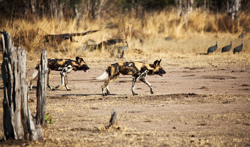 Wild-dogs Predator Lycaon Africa Hunter Luangwa Zambia African Animal Brown Canine Carnivore Dangerous Dog Dogs Fauna Ferocious Hound Hunting Mammal Nature Painted Pictus Safari Savanna Savannah South Spots Wild Wilderness Wildlife Yellow Animals In The Wild Group Of Animals Large Group Of Animals