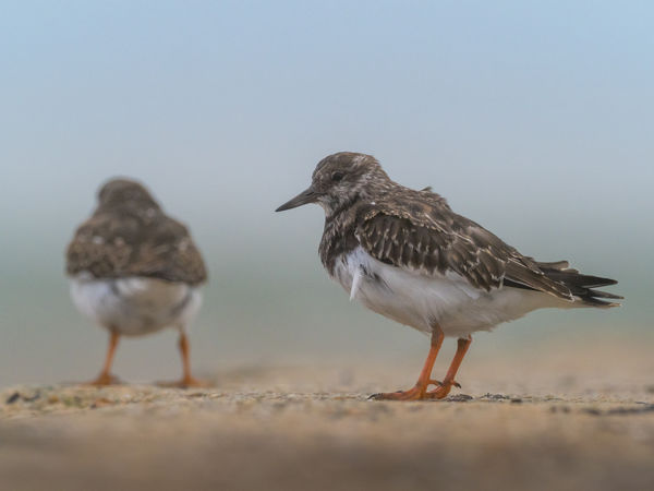 Turnstone Turnstones Schnepfenvogel Helgoland Birding Birding Helgoland Nordseeküste Helgolandliebe Steinwälzer Animal Wildlife Animals In The Wild Bird Vertebrate No People Nature Day Land Full Length Outdoors Sky Animal Themes Group Of Animals Animal Two Animals Beach Selective Focus Clear Sky Sand Togetherness Animal Family