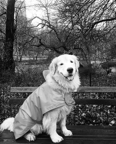 Lizzie Central Park NYC Photography #NYC Dog Pets Golden Retriever