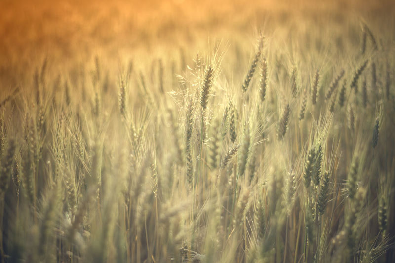 Common wheat / Triticum aestivum [Minolta MD 50mm f/2] Cereal Plant Agriculture Crop  Rural Scene Field Plant Land Landscape Farm Wheat Growth Backgrounds Selective Focus Beauty In Nature Nature No People Full Frame Close-up Barley Environment Outdoors Wheat Wheat Field