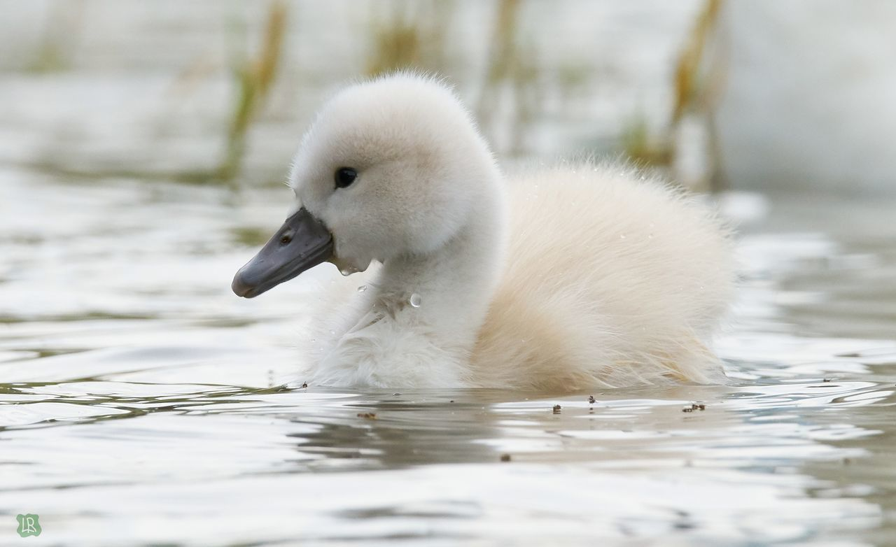 SIDE VIEW OF A SWAN IN LAKE