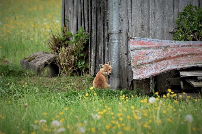 Allgäu Animal Themes Animal Wildlife Animals In The Wild Day Domestic Animals Fox Fox🐺 Frühling Im Allgäu Fuchs Grass Mammal Nature No People Oberstdorf & Umgebung One Animal Outdoors Outside Photography Pets Plant Qute Animals Shy Sitting The Great Outdoors - 2017 EyeEm Awards Wild Animal
