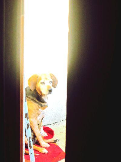 Beagles  Cocote ..👆Epagneul Breton Dormir Debout
