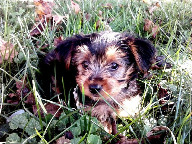 My Yorkie Sawyer as a baby. Pets Dog One Animal Animal Themes Domestic Animals Looking At Camera Portrait Grass No People Close-up Day Nature YorkieBestShots Yorkie ♥ Yorkie, Pup, Funny Face, Animals, Dogs Mammal Growth Outdoors