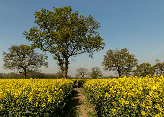 Plant Yellow Beauty In Nature Growth Field Landscape Flower Tree Land Tranquil Scene Oilseed Rape Scenics - Nature Environment Tranquility Agriculture Flowering Plant Nature Rural Scene Sky Farm No People Outdoors Springtime
