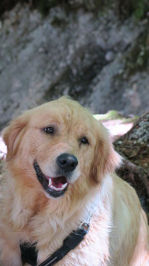 Animal Themes Close-up Day Dog Domestic Animals Golden Retriever Looking At Camera Mammal Nature No People One Animal Outdoors Pets Portrait Pet Portraits