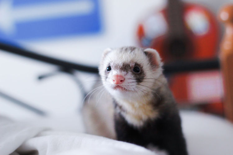 Günther Ferret Happy Animal Animal Portrait Cute Domestic Animals Indoors  No People Pet Portrait
