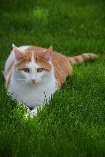 Camillo Pets Portrait Feline Domestic Cat Looking At Camera Owl Grass Close-up Green Color