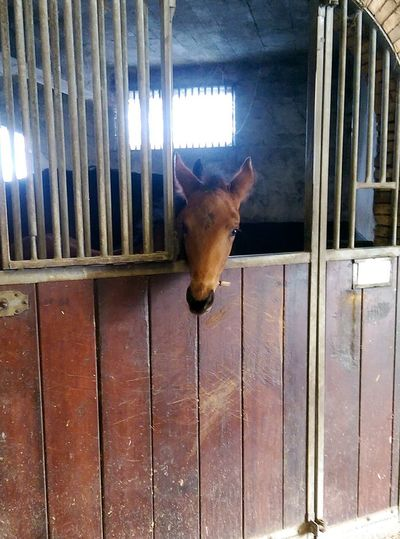 One Animal Animal Themes Domestic Animals Horse Youngster Stable Door No People Full Length Indoors  Day