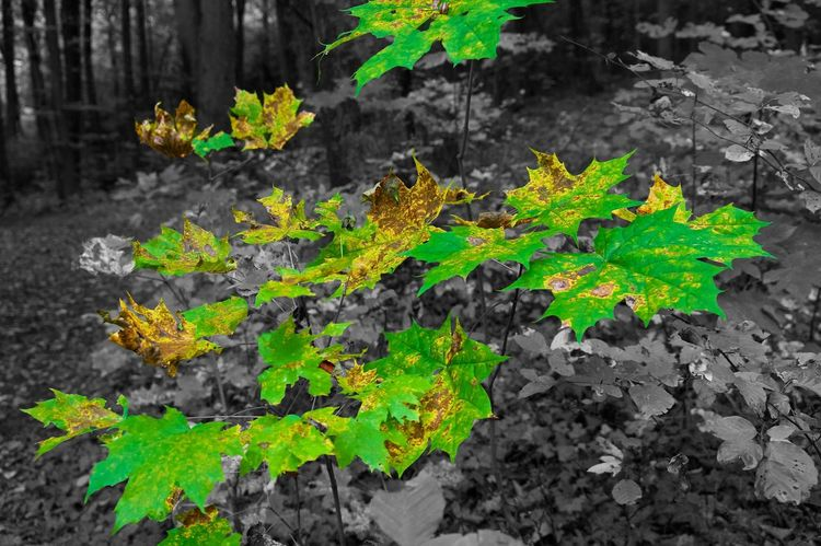 Autumn Contrasts Autumn Autumn Colors Autumn Leaves Background Beauty In Nature Blackandwhite Close-up Colorful Foreground Forest Green Color Nature No People Outdoors
