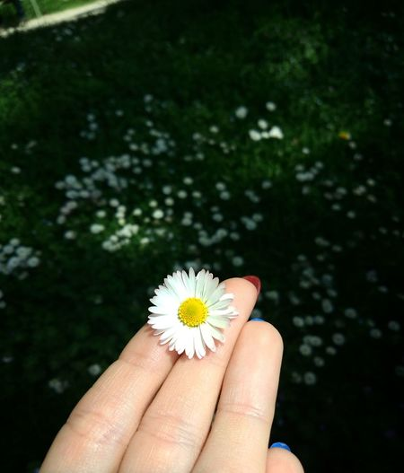 Flower Flowering Plant Plant Human Hand Hand Freshness Human Body Part Daisy One Person Fragility Vulnerability  Holding Close-up Pollen Body Part Nature Flower Head Adult Beauty In Nature Finger
