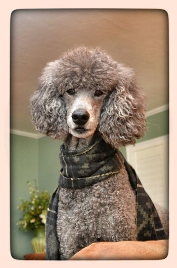 Chrissy - 7 year old standard Standard Poodle Dog I Love My Dog Dogs My Dog My Dogs Are Cooler Than Your Kids EyeEm Best Shots EyeEmBestPics Cute Pets