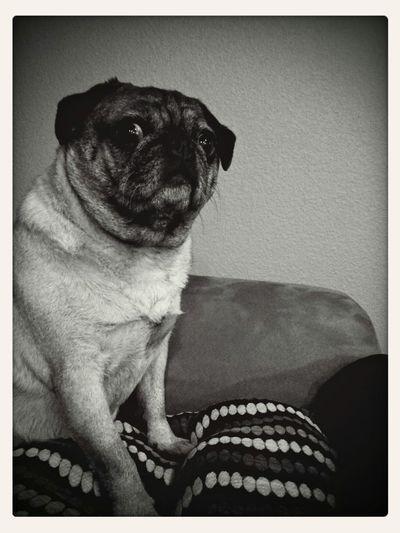 Pug Life ❤ Pugs Pug Love Pug Sitter