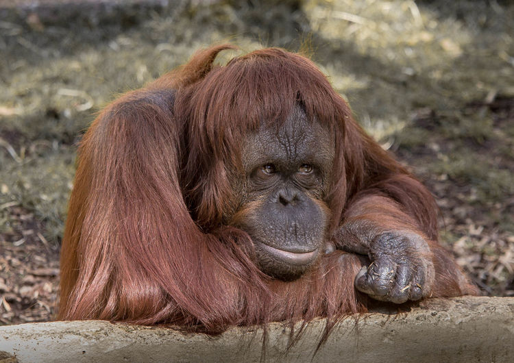 Orangutan relaxing on field