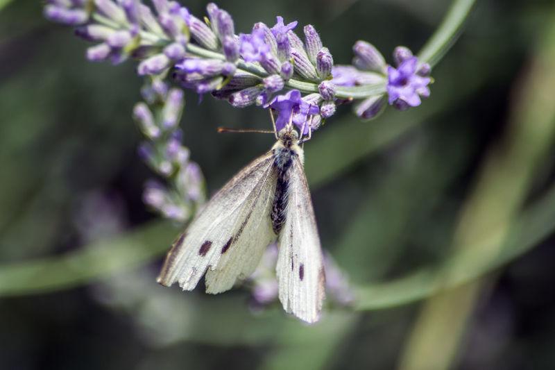 Kohlweißling beim Trinken des Nektars aus der Lavendelblüte Schmetterling Kohlweißling Lavendelblüte Russel Nektar Sammeln Hineintauchen Flügel Flower Butterfly - Insect Hanging Insect Purple Close-up Animal Themes Plant