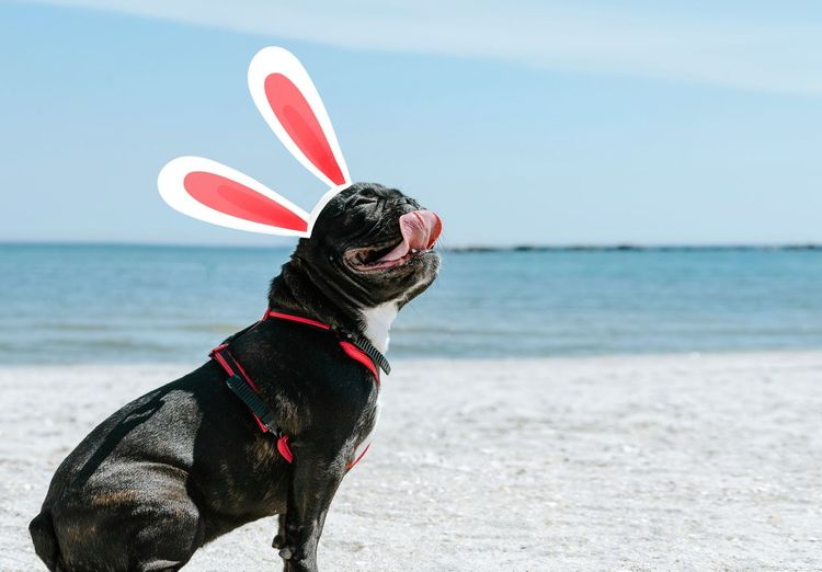 Dog with easter bunny ears on the beach