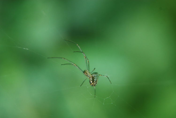 Teritorial Spider Green Nature Adult Backgrounds Layoutdesign EyeEm Indonesia Waiting For Food No People No Edit No Filter Photography Animal